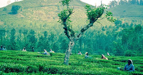 インドの国民的ドリンク「チャーイ」  進化するお茶の飲み方