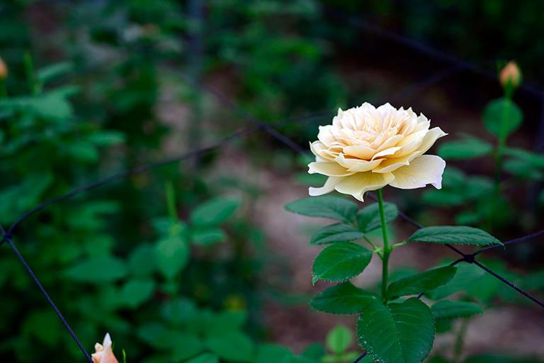 「生きているばら」ならではの変化や香りを重視