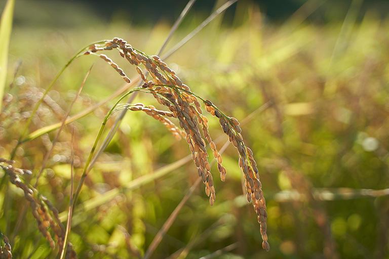 たわわに実った酒造好適米、越淡麗。濡れた稲を刈ることはできないので、雨の日には稲刈りできない。穂が重くなり過ぎて一度倒伏しまった稲は起き上がることはなく、品質が劣化しやすい。稲刈りはタイミングが大切だ。