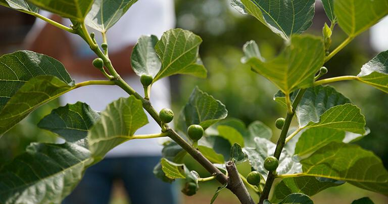 果実園のいちじくの木は人の肩ほどの高さ。枝一本がおよそ10粒の実をつける。写真は初夏のころのまだ小さな実。
