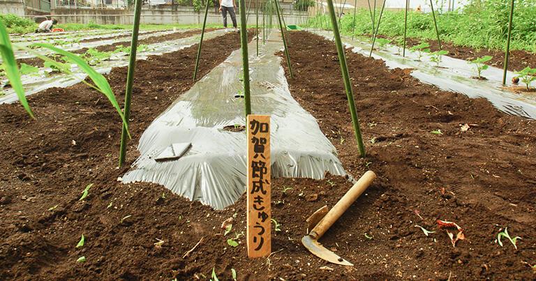 体験農園の一畝では「加賀節成きゅうり」が栽培されていた