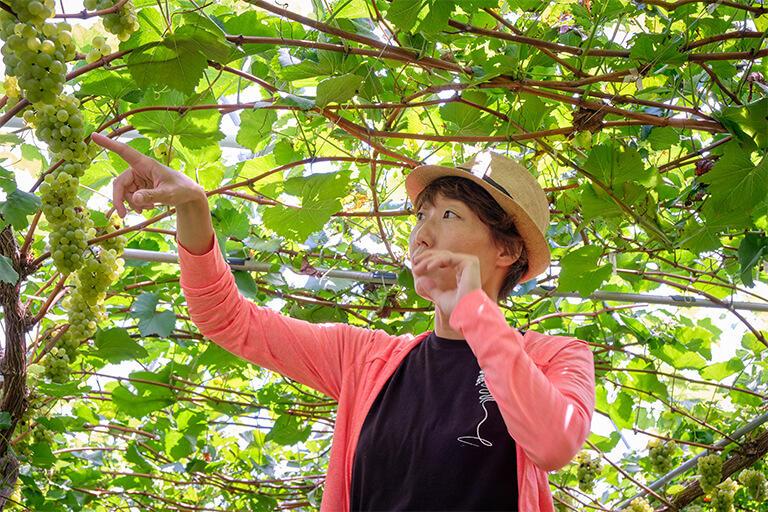 キスヴィンのブドウ畑。これはシャルドネ