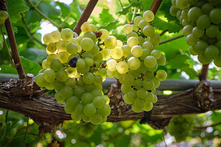ブドウの粒(果粒)のサイズはわざと小さめに育てる