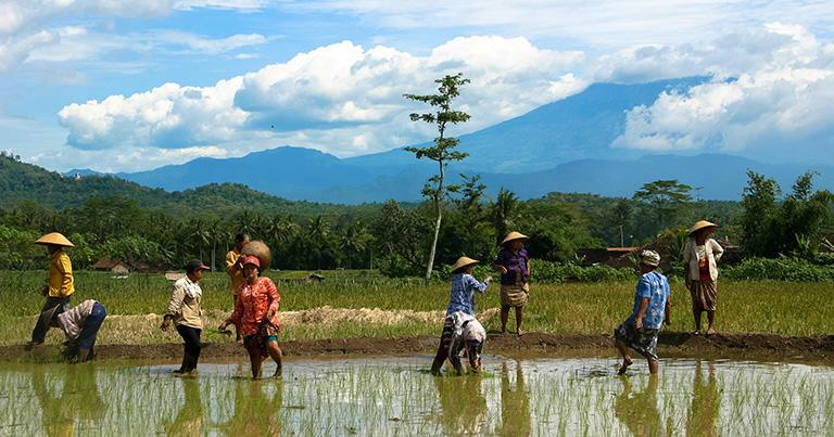 ポロブドゥール近くの農村で田植えをする人々。後ろには活火山のムラピ山が見える